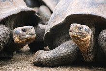 A Family Of  Galápagos Giant Tortoises Looking In The Camera