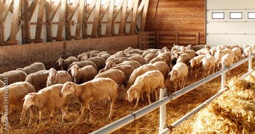 Sheep flock walking in shed Fototapeta