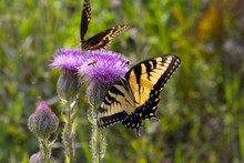 Eastern Tiger Swallowtail Butterfly,.Papilio Glaucus, On Thistle.