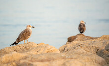 Pair Of Seagulls Posing On The...