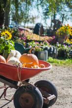Wheelbarrow Of Pumpkins At Far...