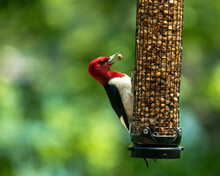 Red-Headed Woodpecker On Peanut Feeder