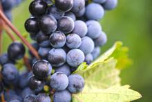 Nahaufnahme Von Reifen Blauen Weintrauben