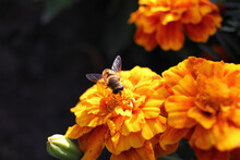 Close-up Of A Bee On An Orange Marigold Flower In The Garden