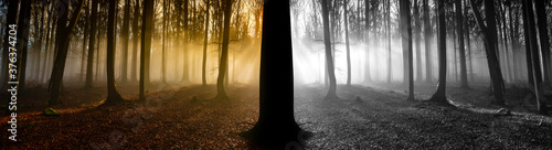 Fototapeta sunrise in an old foggy forest - in color and in black and white - happy and unh