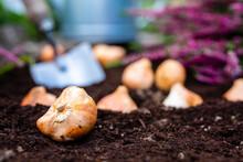 Bulbs Of Tulips And Heather Se...
