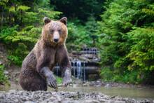 Funny Wild Adult Brown Bear (U...