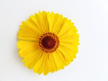 Yellow Rudbeckia Flower Or Coneflower On A White Background. Autumn Coneflowers. Background.