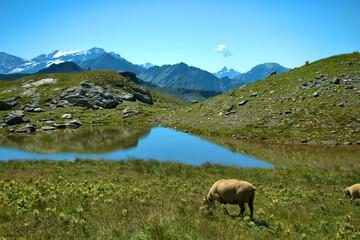 Schafe grasen auf einer Wiese auf dem Pizol in der Schweiz 7.8.2020