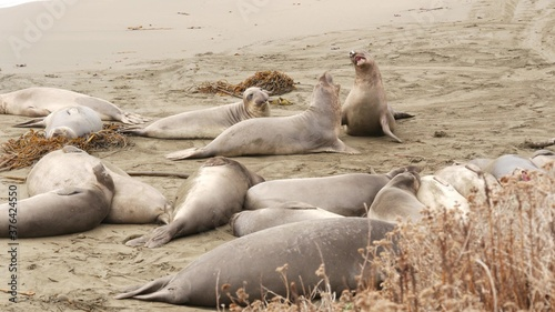 Fotografija Funny lazy elephant seals on sandy pacific ocean beach in San Simeon, California, USA