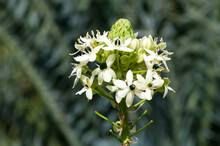Sydney Australia, Close-up Of Flowerhead Of Ornithogalum Saundersiae Or Giant Chincherinchee With Many Small Flowers