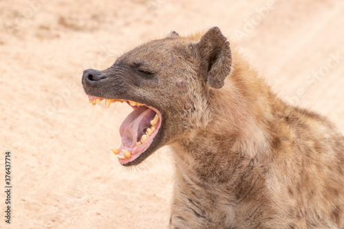 Hyena laughing at a funny joke Fototapet