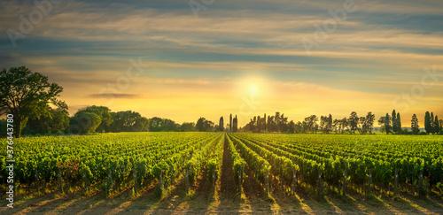 Fotografia Bolgheri vineyard at sunset. Maremma, Tuscany, Italy