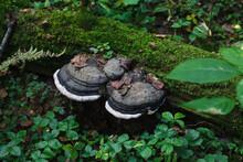 Two Huge Black And White Fungu...