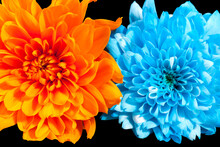 Two Flowers Of Chrysanthemum I...