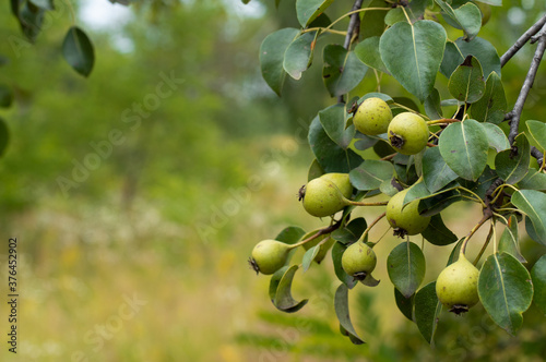 Fototapeta A sprig of wild pears with fruits on a background of greenery.