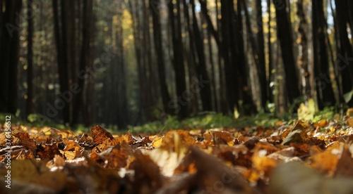 Cuadros en Lienzo Sol recouvert de feuilles tombées, forêt, bois, arbres, végétation