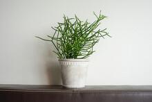Euphorbia Tirucalli Linn Plant In Gray Pot.