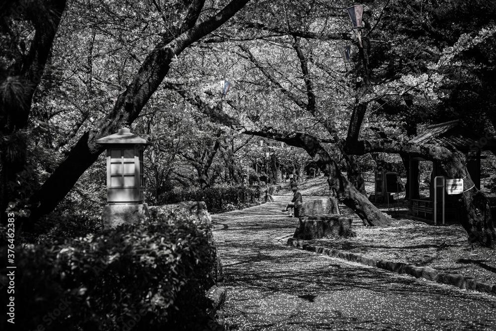 Fototapeta 桜が咲く公園の白黒写真