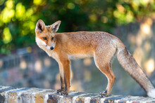 An Urban Fox Cub On A Garden Wall In London, England