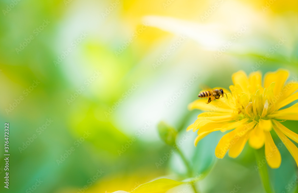 Fototapeta Nature of flower and bee in garden using as background natural wallpaper