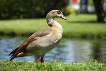 Egyptian Goose Perched Next To...