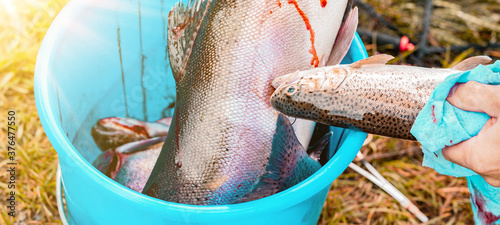 Fototapeta Angler / fishing background - Close-up from freshly caught bloody salmon trout i