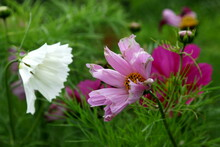 Beautiful Cosmos Flower (Cosmos Bipinnatus) With Blurred Background