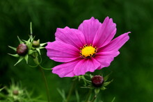 Beautiful Cosmos Flower (Cosmos Bipinnatus) With Blurred Background
