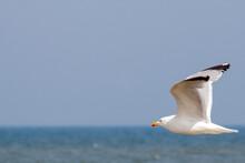 Adult European Herring Gull (L...