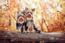 Two Yorkshire Terrier Dogs Sitting On The Log In The Autumn Forest