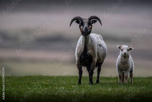 sheep and lamb Fototapeta
