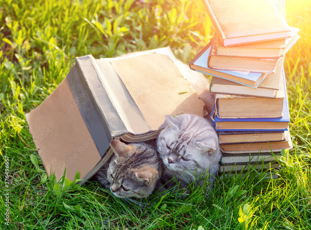 Fototapeta Couple of cute clever cats lying on the grass near pile of books in summer on a sunny day. Cats covered with big grunge book