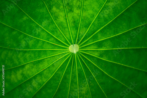 Obraz abstract line on green leaf with leaf background texture - fototapety do salonu