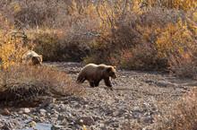 Grizzly Bears In Denali National Park Alaska In Autumn