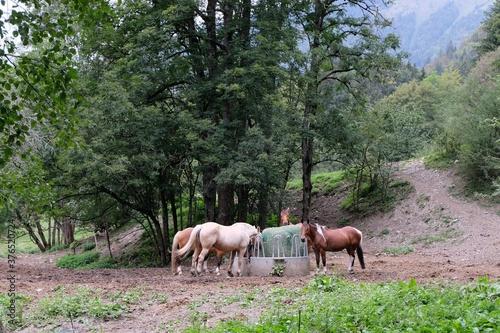 Chevaux mangeant dans un champ Slika na platnu