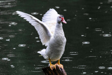 White Duck Ready To Fly On Wooden Pole, Green Waters