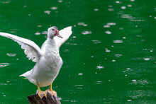 White Duck Flapping Its Wings ...