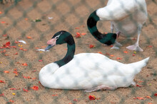 Black Necked Swan Resting On The Ground Captive Environment Photograph