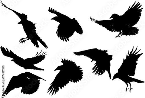 Fotografija set of eight crow silhouettes isolated on white