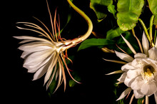 Night Blooming Cereus Against ...