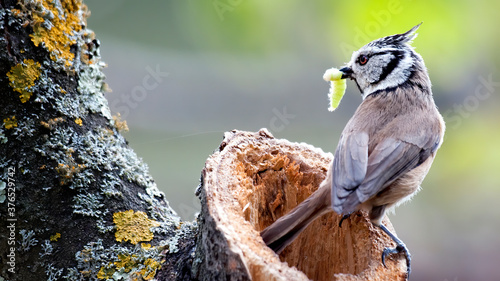 Obraz na plátně European crested tit in Spain near nest.