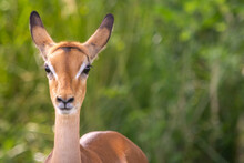 Closeup Shot Of A Cute Baby Antelope
