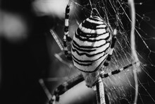 Macro Of Tiger Spider Or Field...