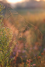 Wet Spider's Web On Branch Closeup With Drops Of Dew. House Of Spider
