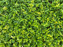 Green And Yellow Leafed Ground Cover