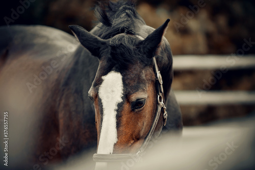 Fototapeta Sporty young horse brown color in a halter in the levada.