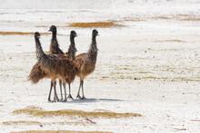 Young Australian Emu Birds In ...