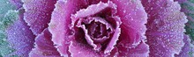 Morning Hoar Frost On Purple Leaves Of Decorative Ornamental Cabbage, Close-up. Colorful Abstract Natural Floral Pattern, Texture, Background. Farming And Gardening Theme. Panoramic Concept Image