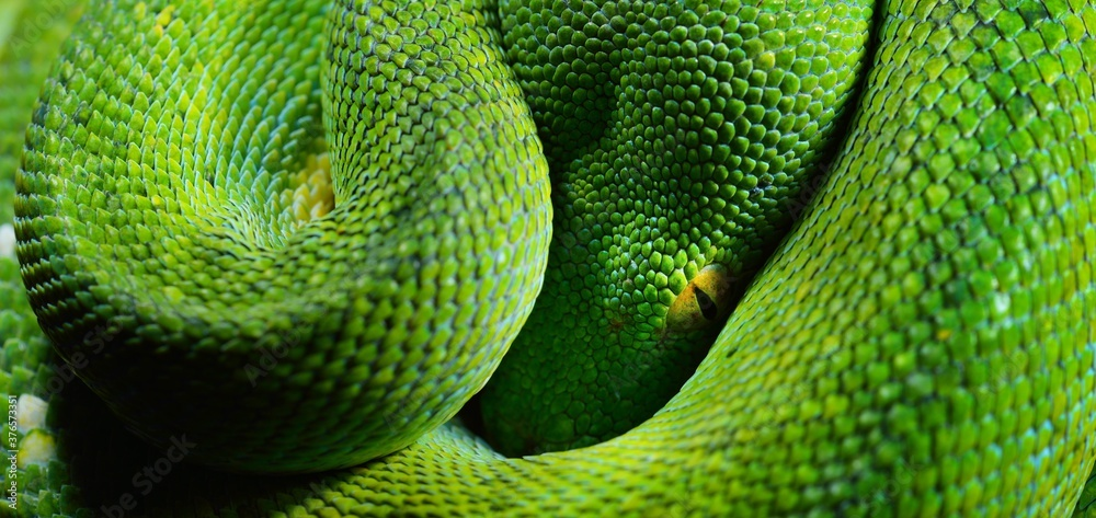 Fototapeta A body of the green tree python Morelia viridis close-up. Portrait art. Snake skin, natural texture, abstract, graphic resources. Environmental conservation, wildlife, zoology, herpetology
